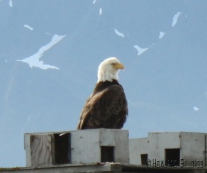 Bald Eagle - just one of many